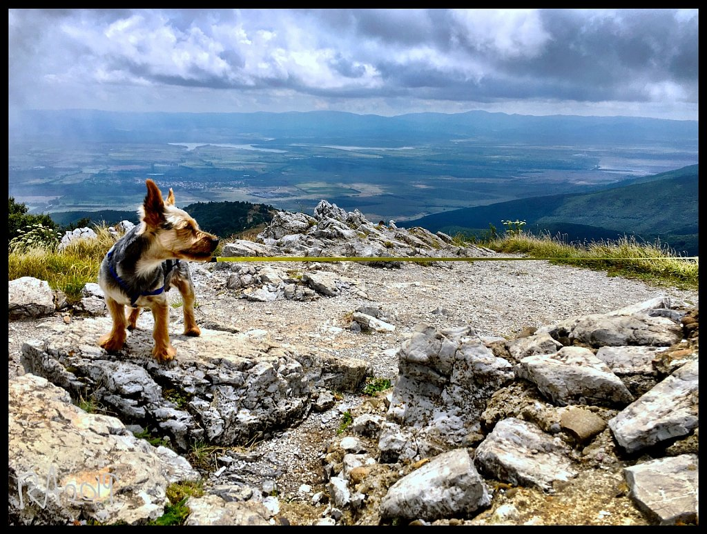Mountain pooch